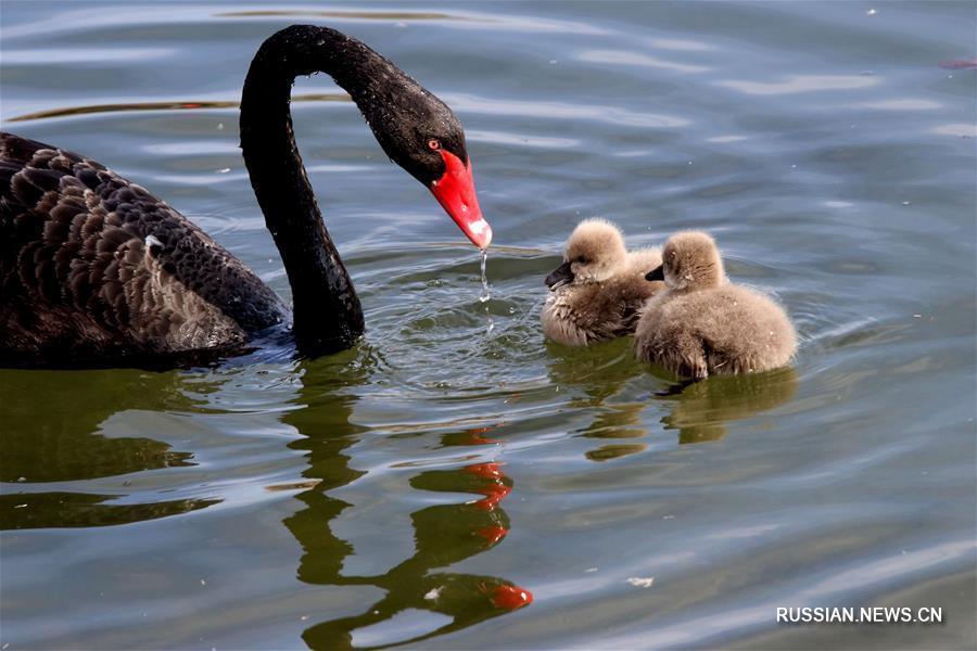 Птенцы черного лебедя в парке Юаньминъюань