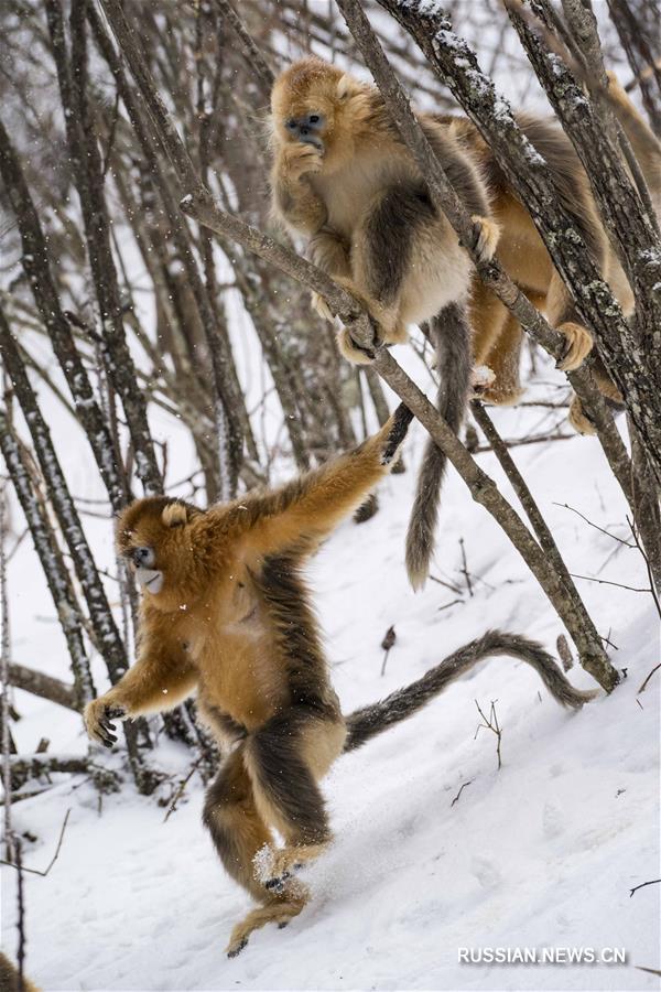 Золотистые обезьяны в заснеженных лесах Шэньнунцзя
