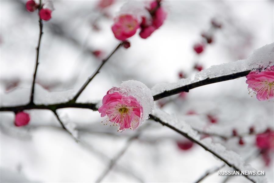 Под снегом расцветает слива в Ханчжоу