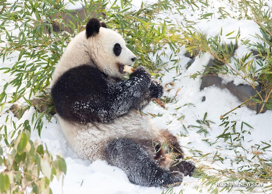 Снежные забавы больших панд в Нанкине