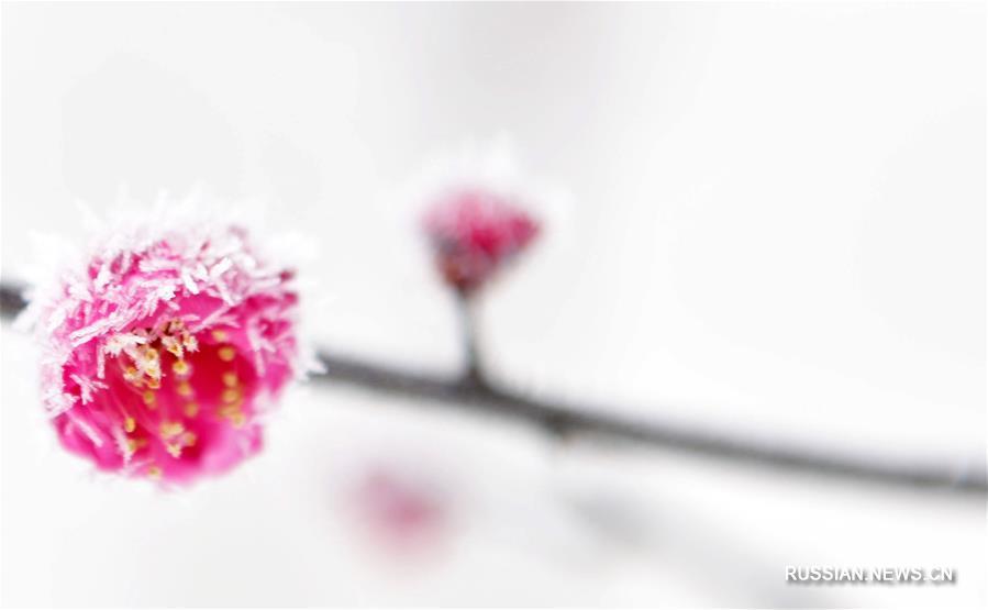 Цветущая зимняя слива в Поднебесной