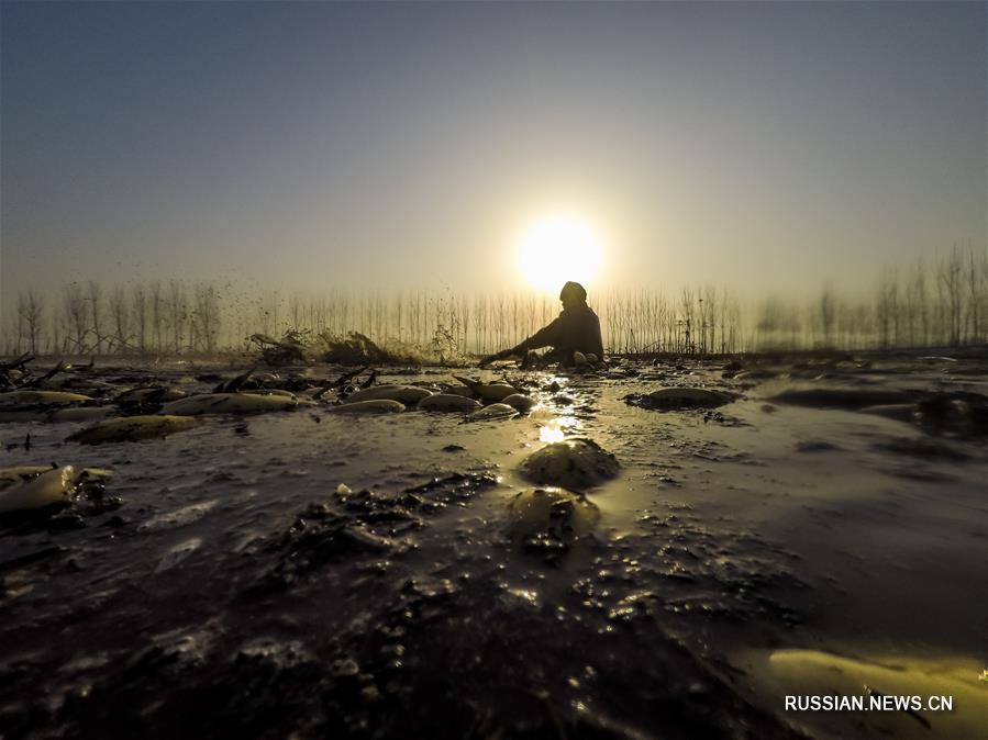 Нелегкий труд сборщиков корневищ лотоса на зимнем озере Байяндянь