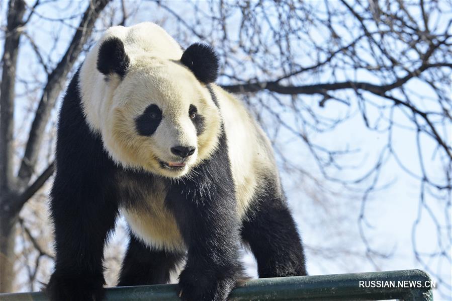 Посетители Тяньцзиньского зоопарка вновь увиделись с большой пандой Силэ