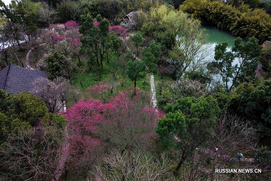 В ханчжоуском парке Сиси цветут 20 тыс сливовых деревьев