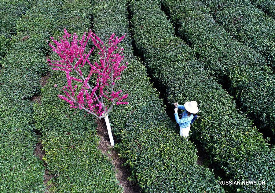 Весна на чайных плантациях в горах провинции Шэньси