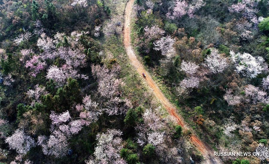 Цветение дикой вишни в горах провинции Хубэй
