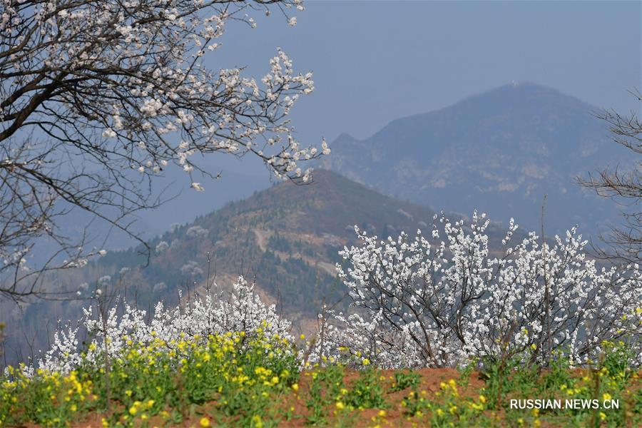 Цветение абрикосов на горе Цзяньшань