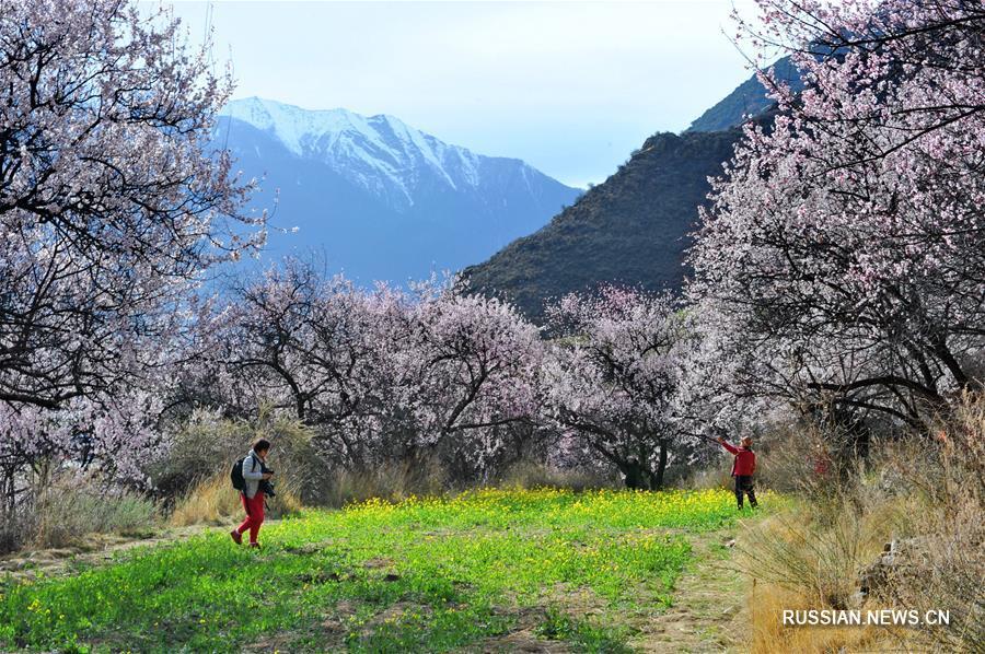 Цветение диких персиков в Ньингчи