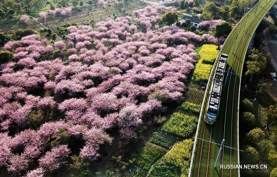 Трамвай и цветущие яблони Холла в Сучжоу