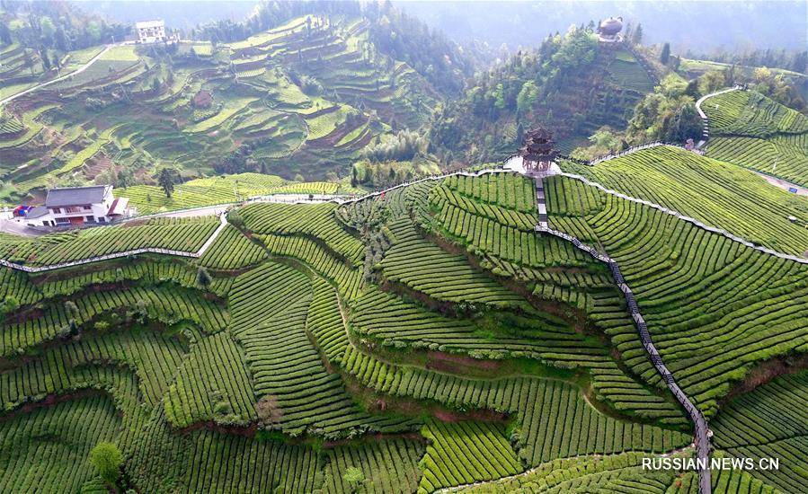 Производство весеннего чая в уезде Сюаньэнь