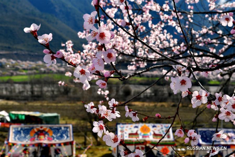 Изящные цветы персика в тибетском уезде Бово