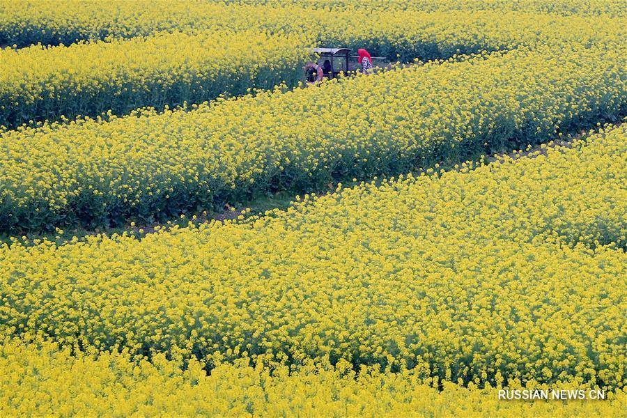 Тысяча золотых рапсовых островков в провинции Цзянсу