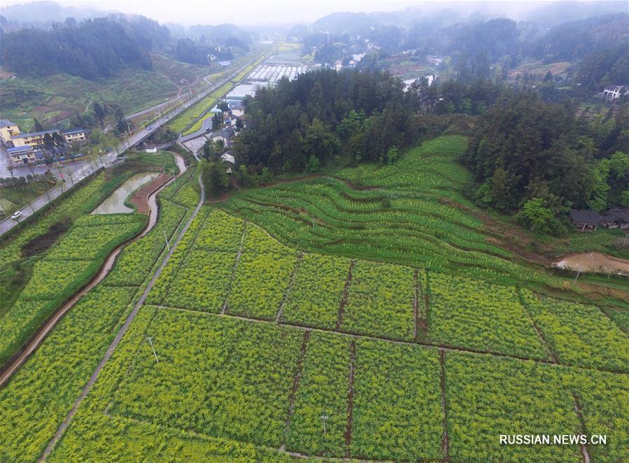 Желто-зеленые рапсовые поля в деревне Чжунцзян
