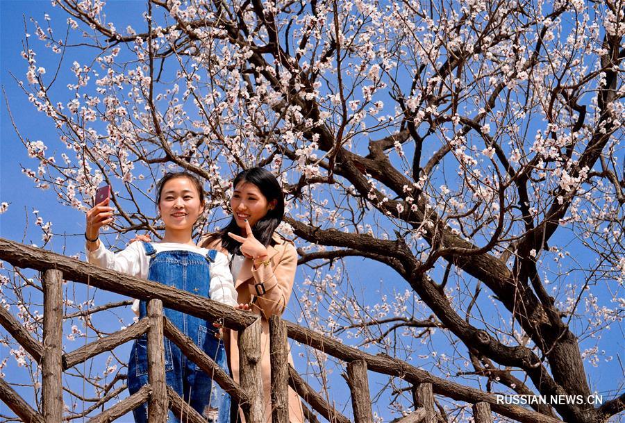 Цветение сибирских абрикосов в провинции Хэбэй