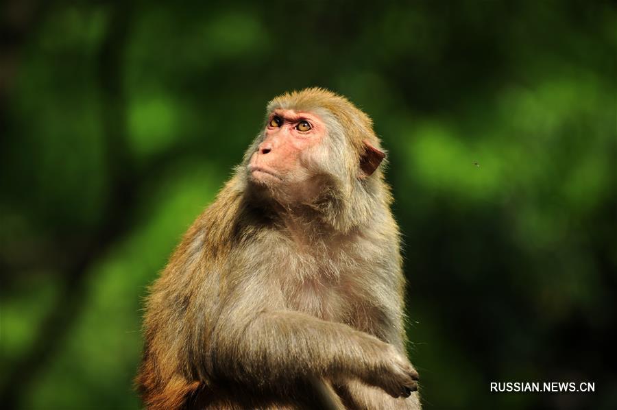Игры обезьян в парке Цяньлиншань провинции Гуйчжоу