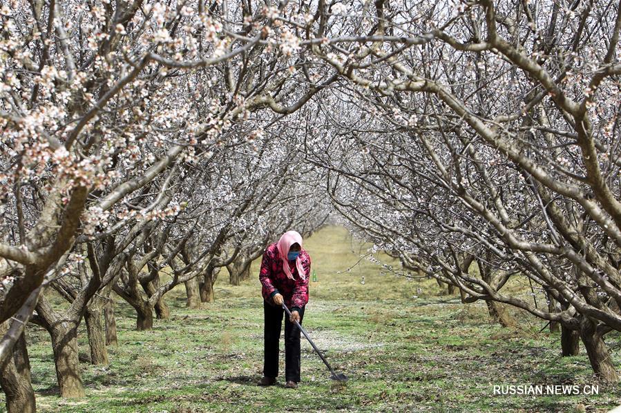 Пышно цветущие абрикосовые деревья в Нинся-Хуэйском АР