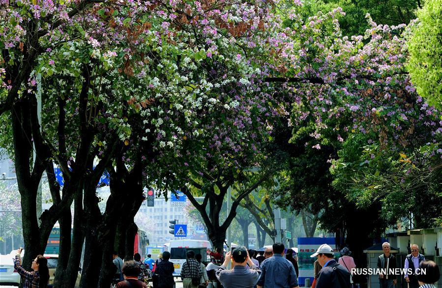 Цветущая баухиния в Фучжоу