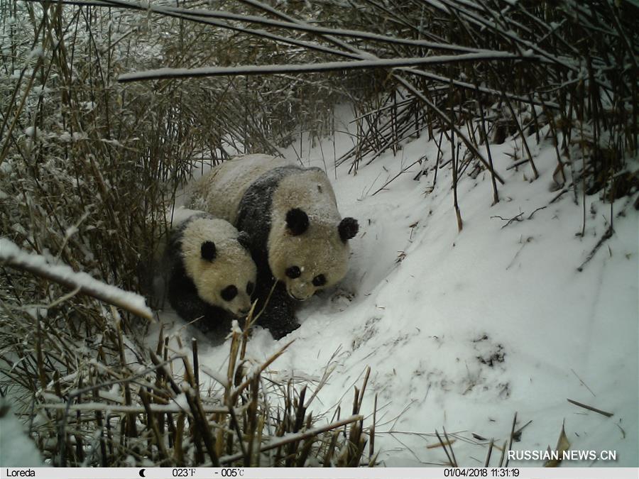Инфракрасные камеры засняли момент кормления грудного детеныша большой панды