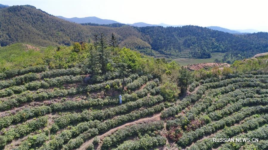 Чайные плантации в деревне Макоу провинции Цзянси