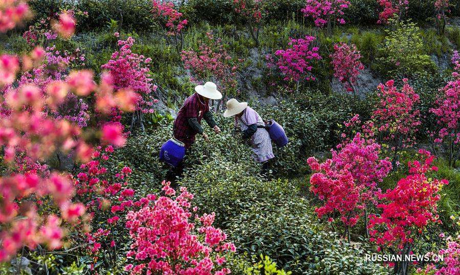 Сбор урожая чая среди цветущих азалий на востоке Китая
