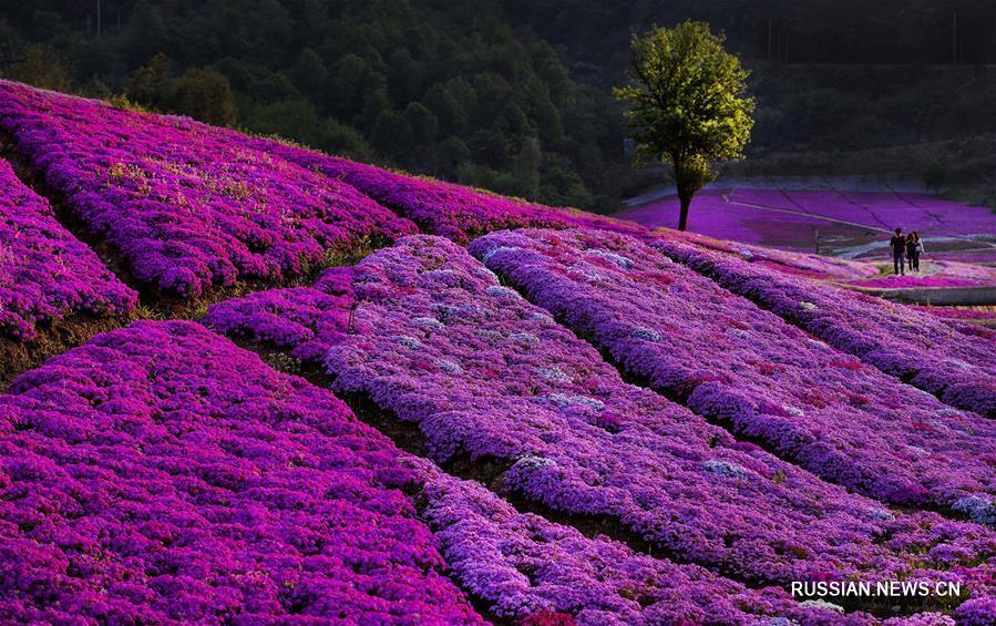 28 га пустырей стали цветущим садом в провинции Аньхой