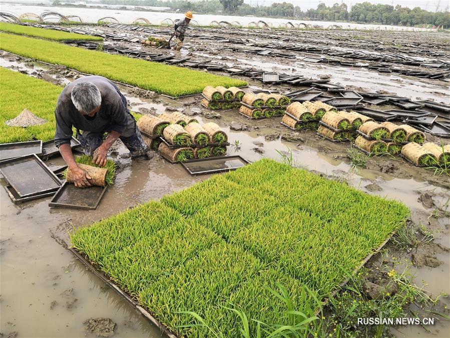 Фермеры высаживают рисовую рассаду