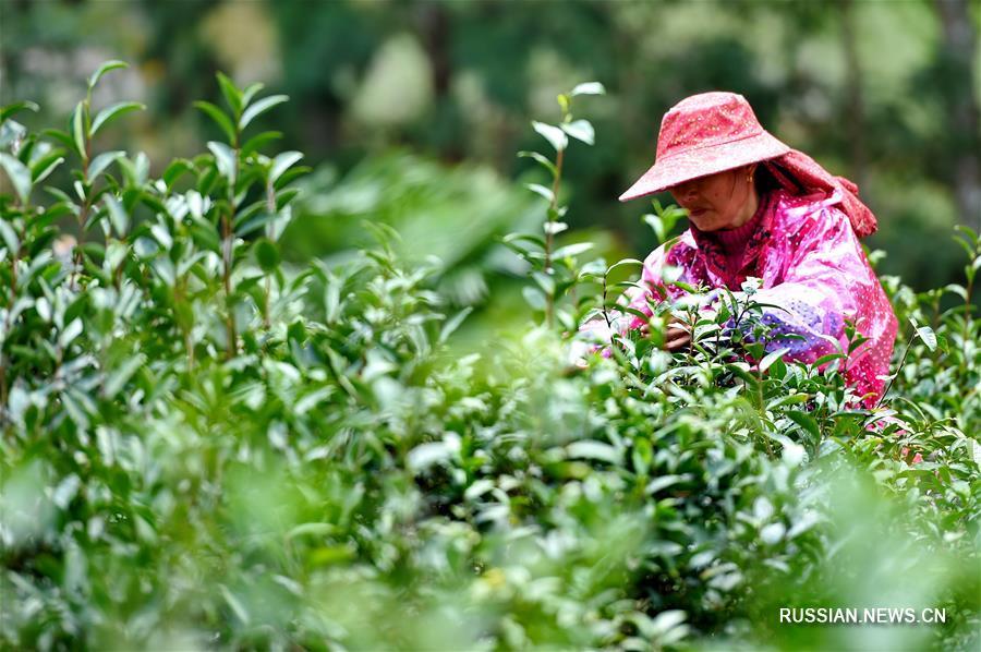 Как производство чая обогатило жителей отдаленной горной деревни