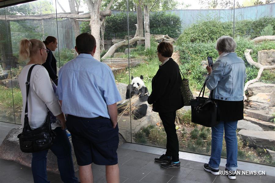 Китайские большие панды Ванван и Фуни в австралийском зоопарке