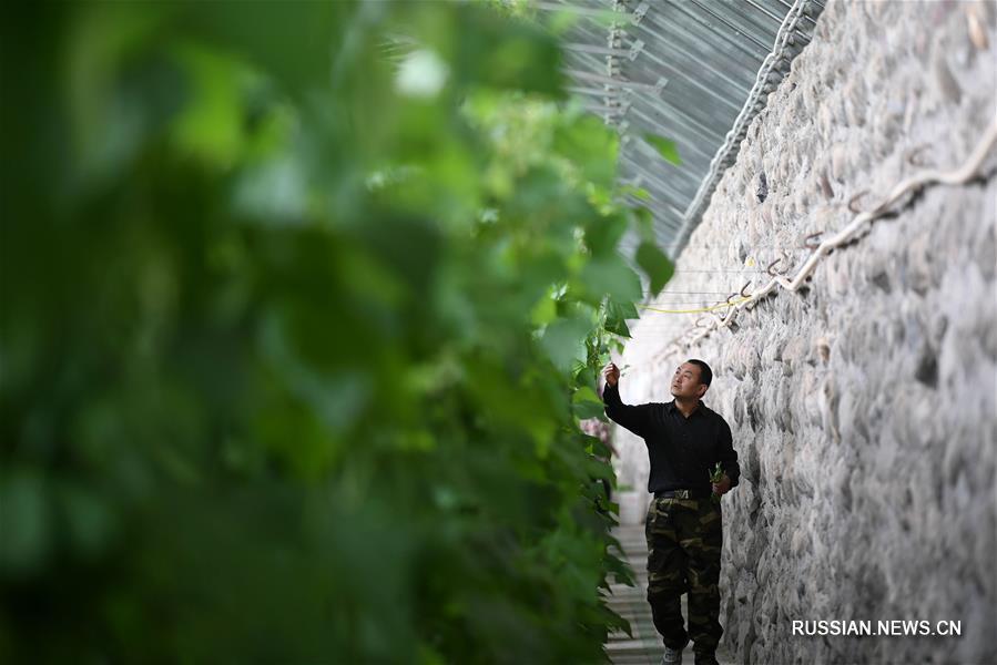 Гидропоника превратила бесплодные земли в провинции Ганьсу в высокоурожайный край
