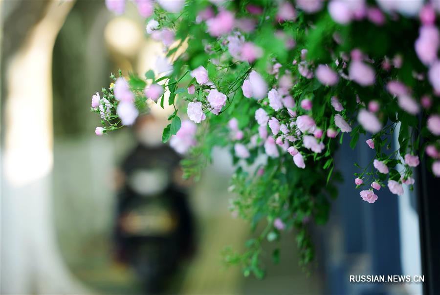 Розы на улицах Нанкина