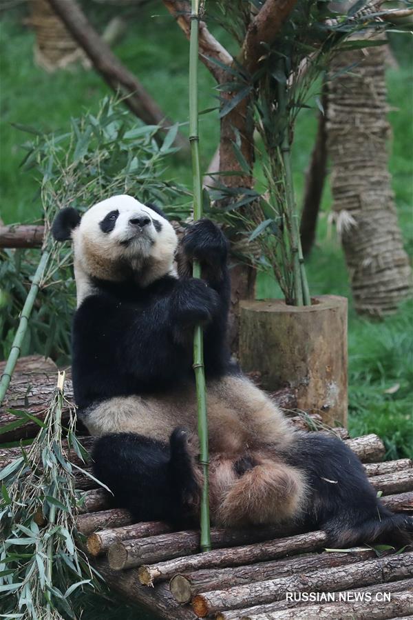 """В гуйянском парке """"Цяньлиншань"""" открылся павильон больших панд"""