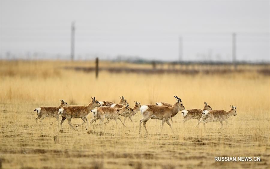 Численность популяции дзеренов Пржевальского в заповеднике озера Цинхай выросла до  2057 особей