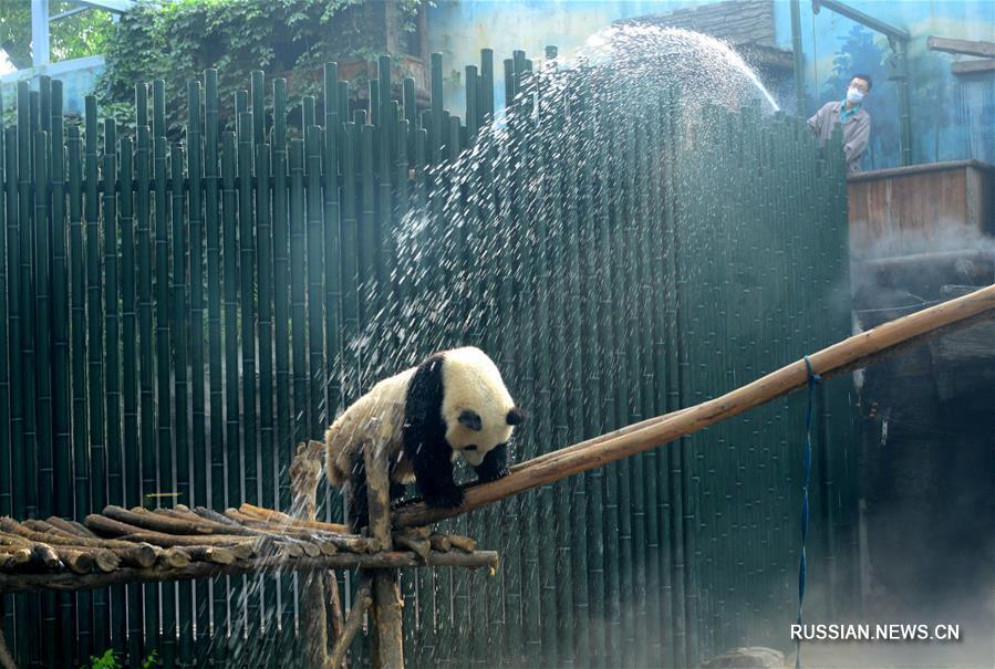 Душ для больших панд в жаркий пекинский день
