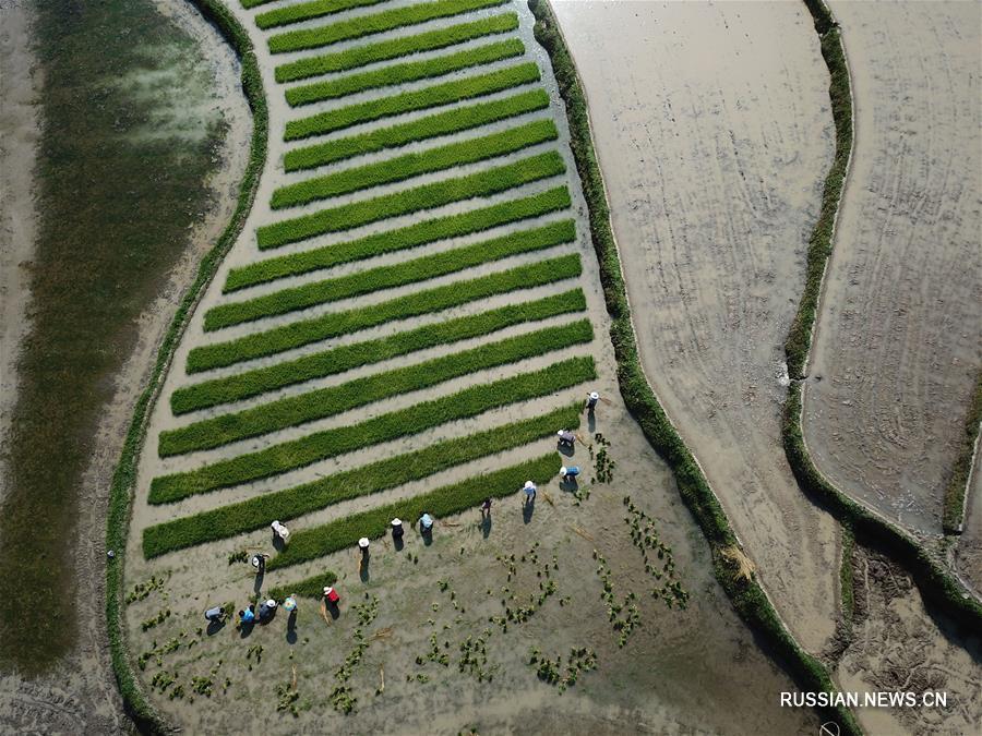 Работа на рисовых полях в уезде Юйцин