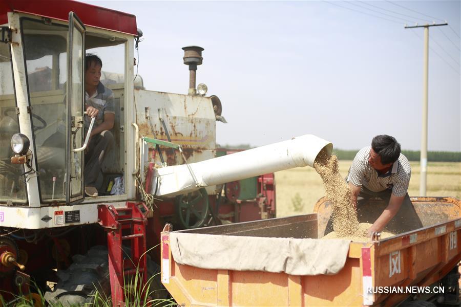 В провинции Хэбэй собирают первый летний урожай пшеницы