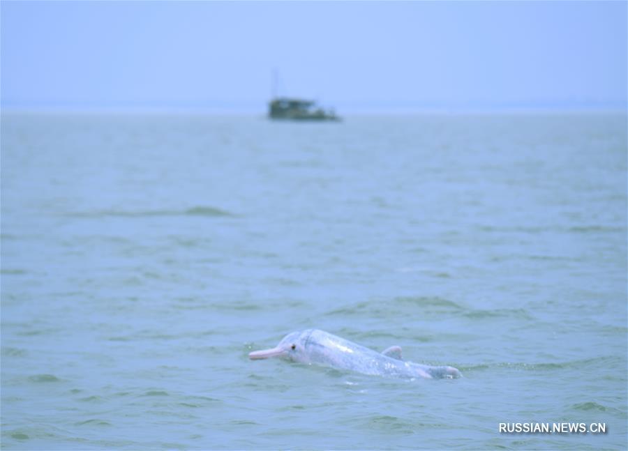 Китайский дельфин у побережья Циньчжоу