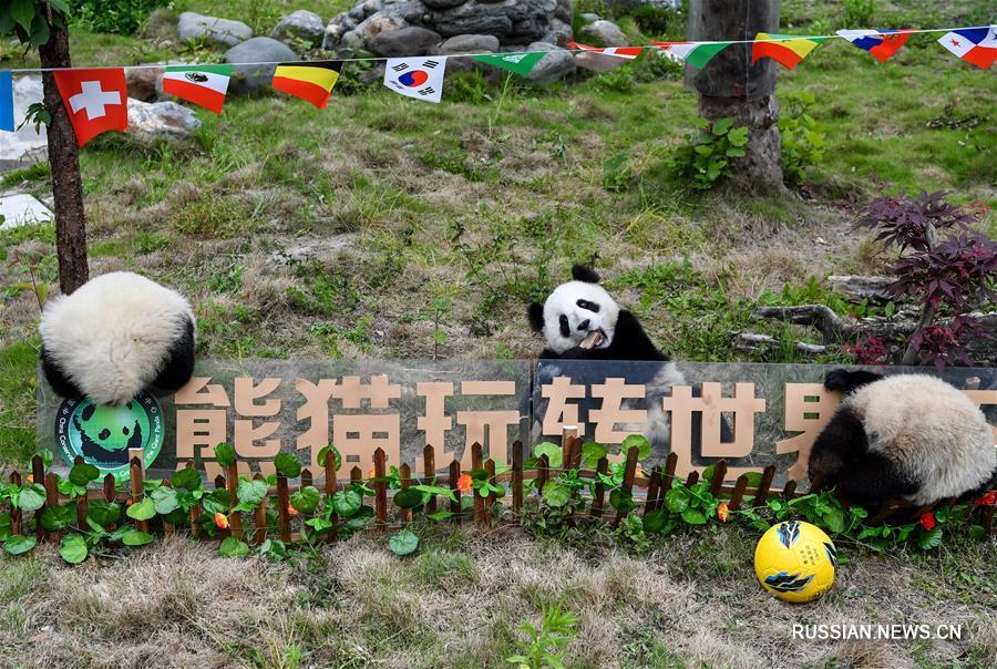 """В Китае проведен """"футбольный матч"""" больших панд, приуроченный к открытию Чемпионата  мира по футболу в России"""