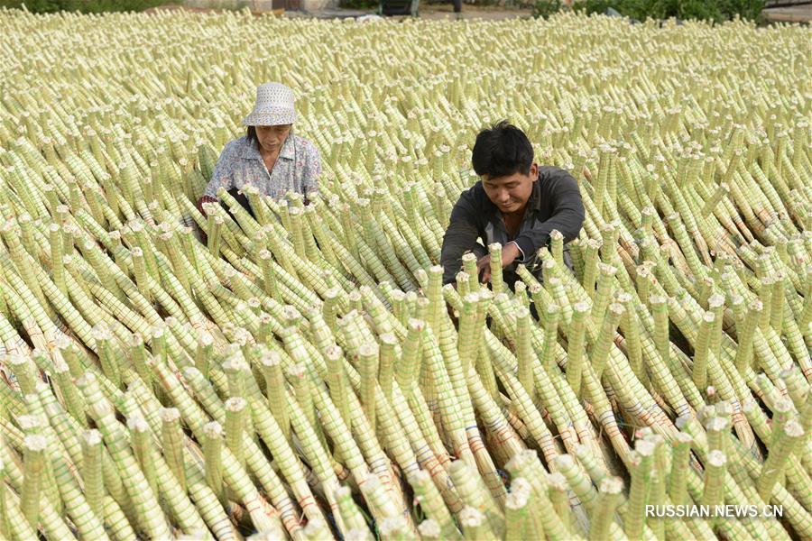 Производство веников в уезде Лэтин провинции Хэбэй