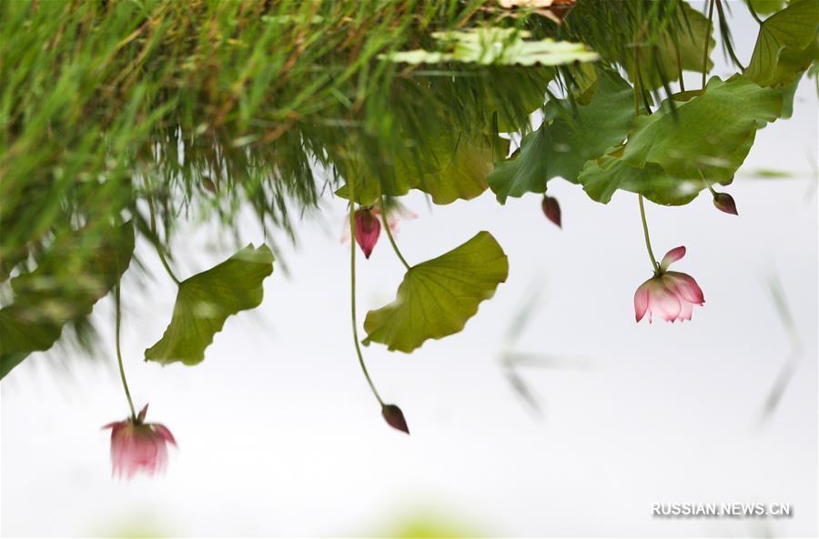 В Китае наступила пора цветения лотосов