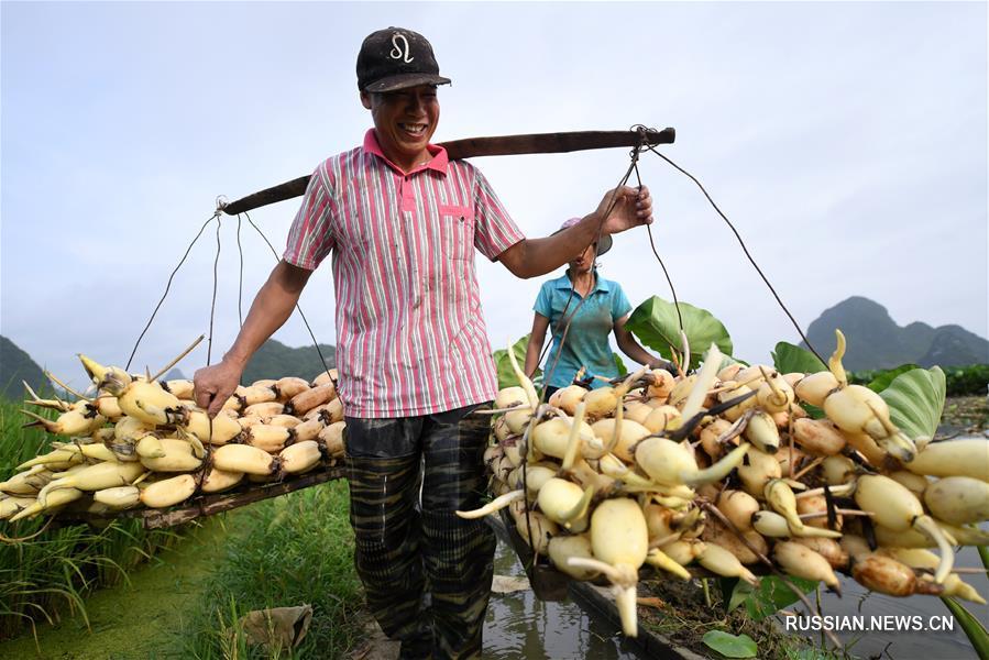 Летний сбор корневищ лотоса в поселке Байпэн