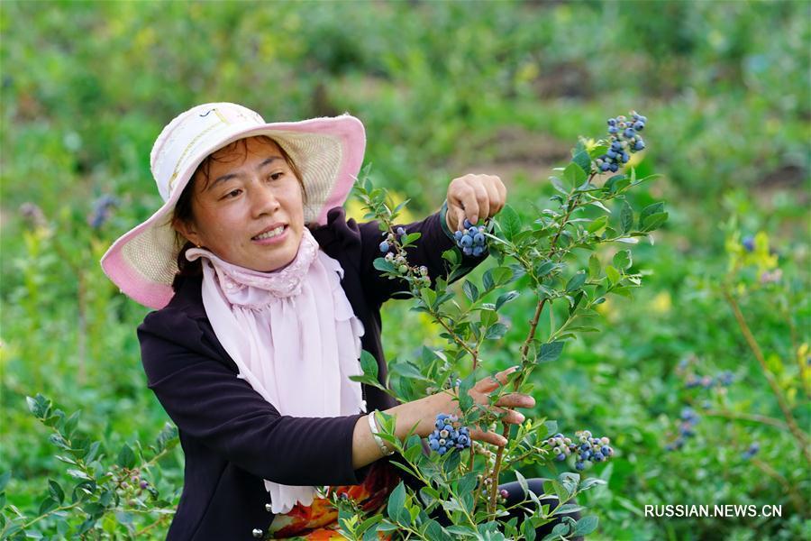 Сбор голубики в хэбэйском уезде Луаньсянь