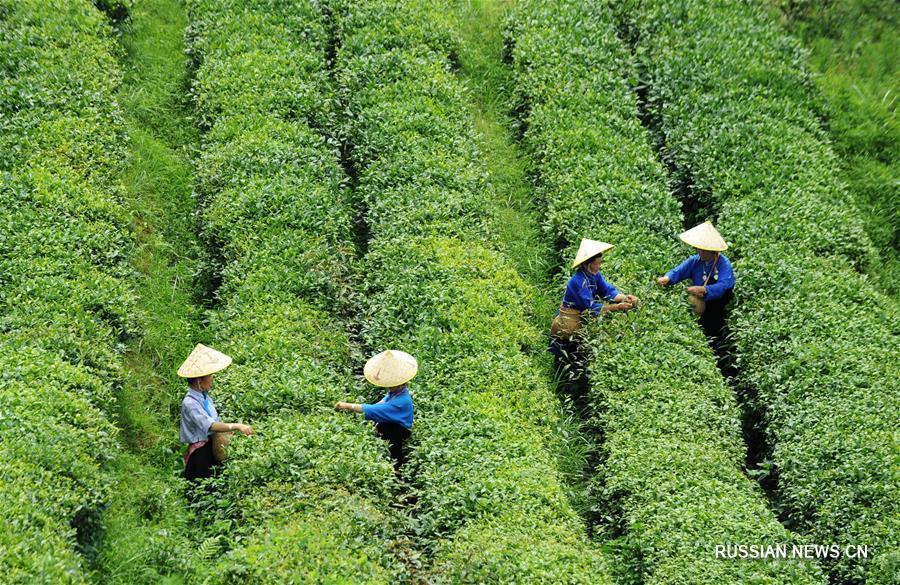 Работа на чайных плантациях помогает крестьянам уезда Даньчжай избавиться от бедности
