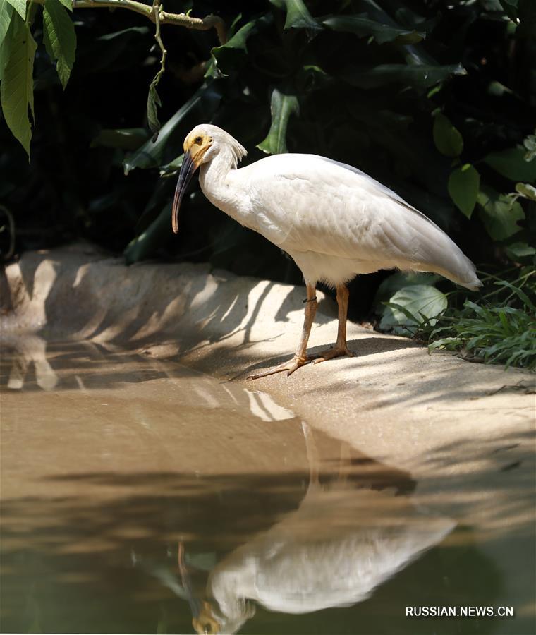 Жители Гуанчжоу увидели 8 птенцов красноногого ибиса, вылупившихся в этом году