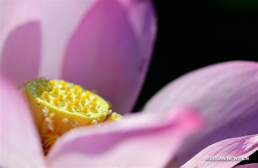 Летний аромат цветущих лотосов в поселке Саньхэ
