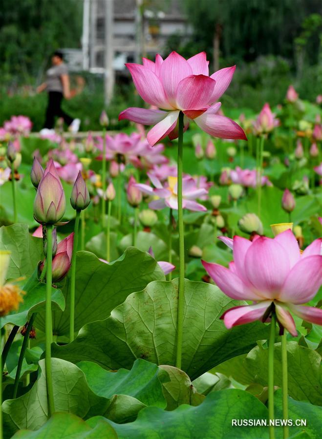 В уезде Луаньчуань провинции Хэнань цветущие лотосы помогают развивать туризм