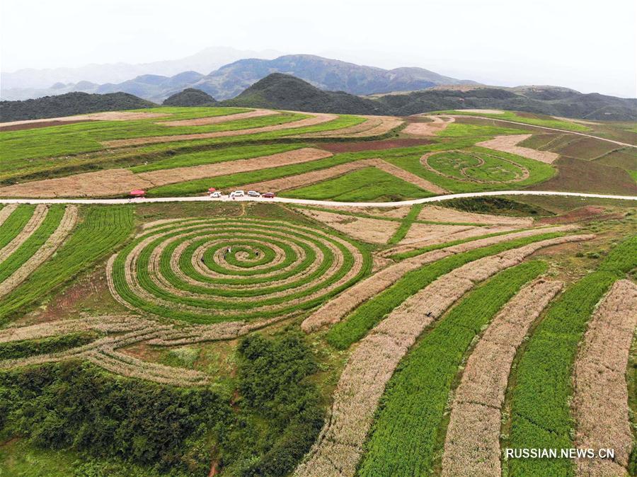 Цветущие поля гречихи в провинции Гуйчжоу