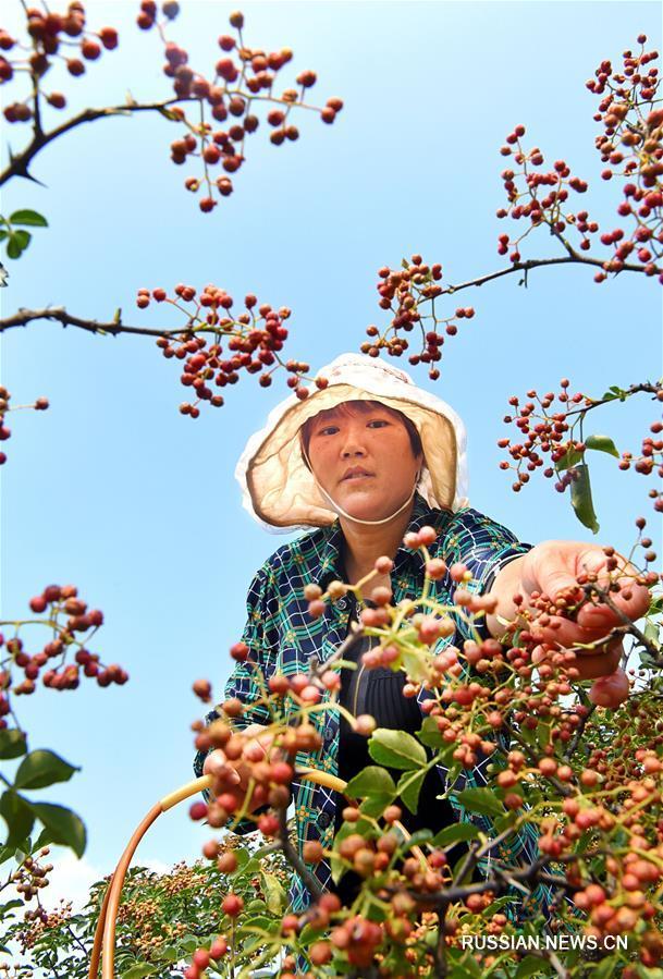 Богатый урожай собирают в провинции Шаньдун