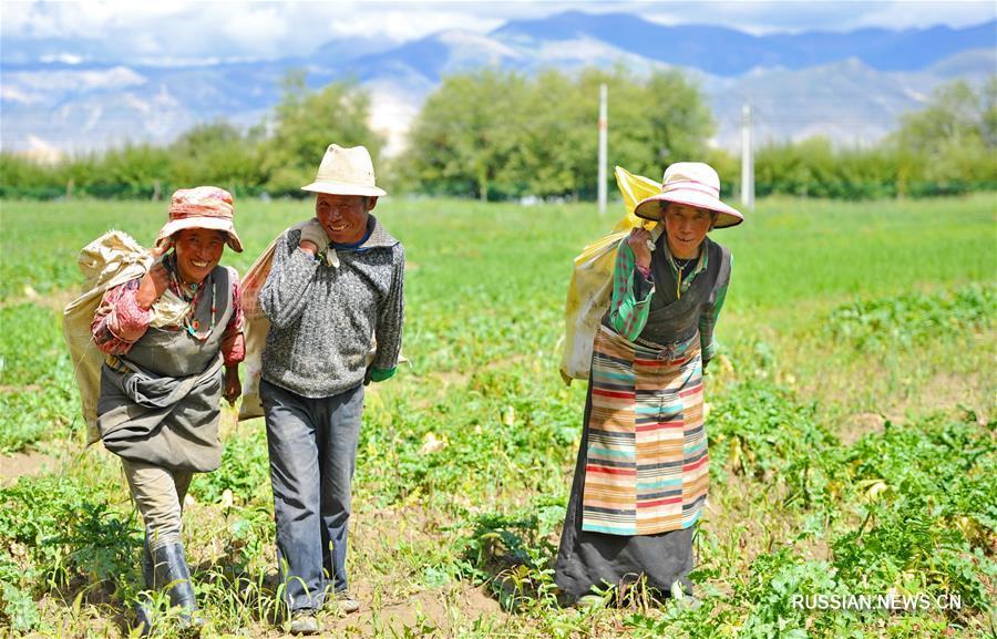 """Сбор свежего урожая в тибетском """"городке редьки"""""""