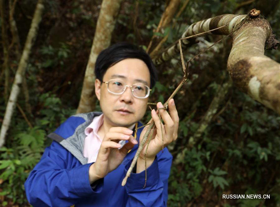 Китайские ученые впервые выпустили на волю личинок самого длинного насекомого в мире