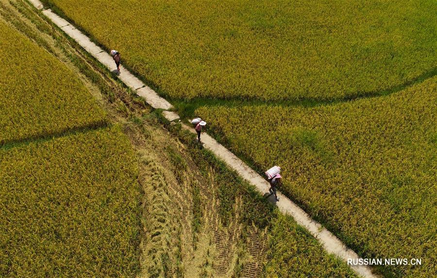 Уборка поливного риса в уезде Сунтао